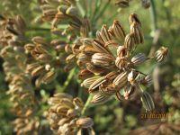 Foeniculum vulgare, Fenchel