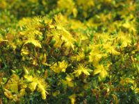 Hypericum perforatum, St. Johnswort